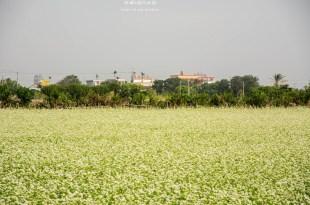 Changhua|彰化‧二林|下雪了,像白雪一般的蕎麥花田,有一種純白的浪漫