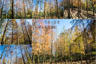 |台中‧后里|寧靜悠閒、光影交織,如光山寺落羽松林