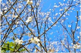 Tainan|台南‧楠西|飄起冬雪*讓我們一起到梅嶺賞2015年的第一場梅花吧