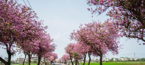  雲林‧土庫 粉紅色的浪漫,慢步在羊蹄甲大道