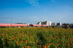 Kaohsiung|高雄‧橋頭|2015愛在花田囍事,花漾橋頭,讓我們一起賞花去