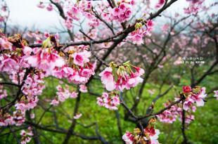 |台北‧北投|雪融了,花開好了,平菁街櫻花正在等著你