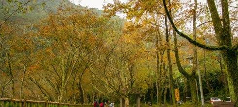  桃園‧大溪 楓葉漸紅,漫步在槭林步道與楓林小徑,感受不一樣季節的石門水庫