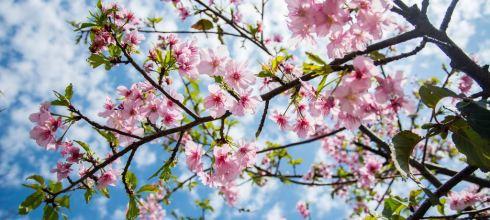 |台中‧后里|賞櫻新景點,不需要跑很遠,在中科崴立機電就有一片櫻花園區