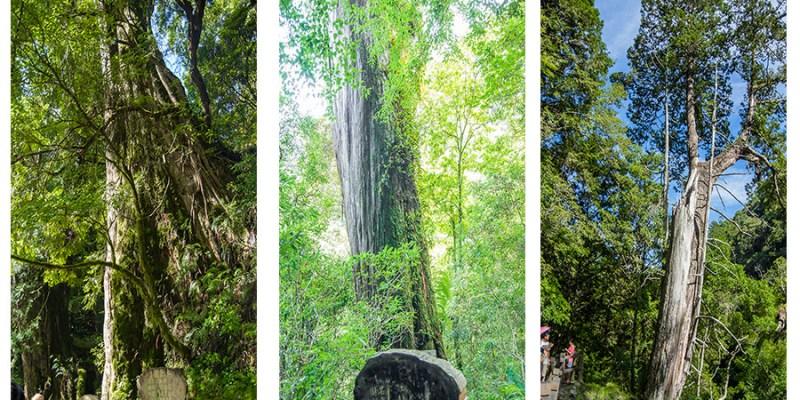 【桃園】。拉拉山水蜜桃節 拉拉山巨大神木群《桃園拉拉山行程》