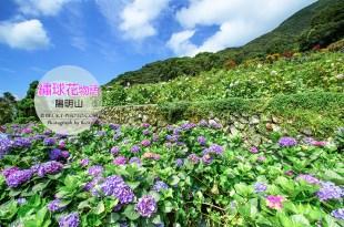 【台北】。台灣花季 6月繡球花 │陽明山竹子湖上『大梯田農園紫陽花』