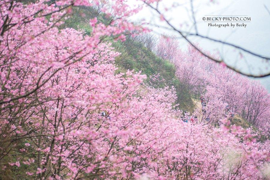 【新北】。三峽櫻花秘境粉色吉野櫻爆發!熊空櫻花林交通