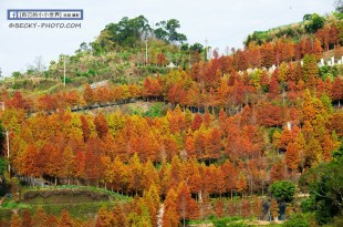 【台中】。潭子新田步道落羽松秘境! 滿山的黃綠紅