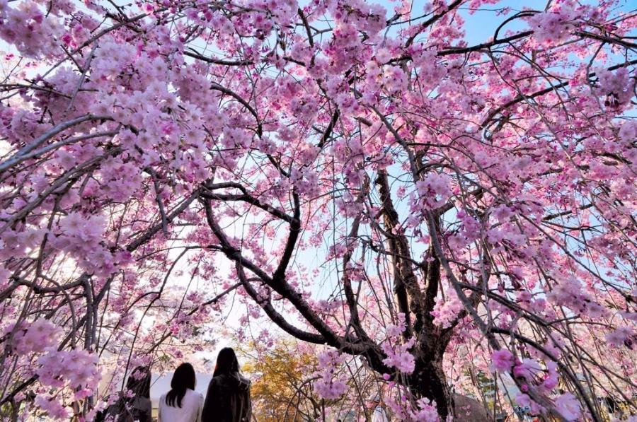 【京都】。嵐山嵯峨野觀光鐵道行~序