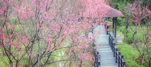 【台北】。 新北市樹林櫻花步道花況@大同山櫻花開!
