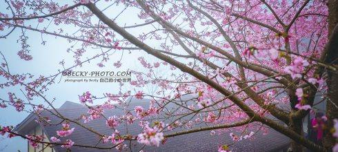 【新竹】。山上人家有櫻花有雲海、森林裡喝咖啡@10月~3月攝影提早入園!