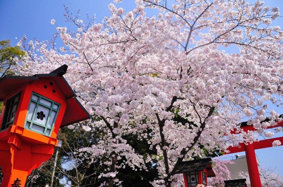 【京都】。平野神社~每年4月10日桜祭神幸祭典