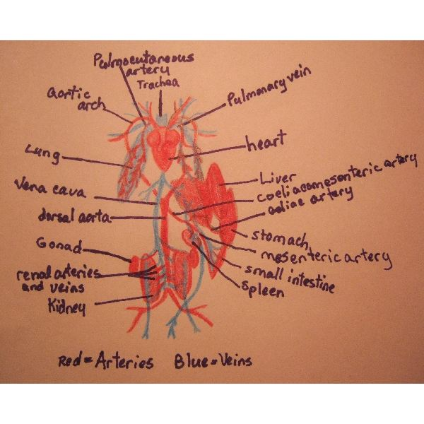 Science Homework A Detailed Diagram of a Frog\u0027s Circulatory System - frog body