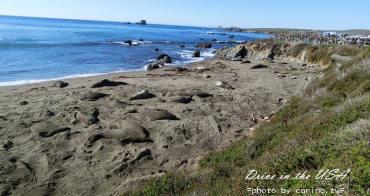 美西自駕景點 加州一號公路『Piedras Blancas海象灘』超多躺在沙灘上做日光浴懶洋洋的海獅群