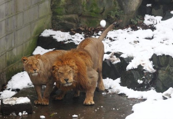 A snowball is flying toward the lions.