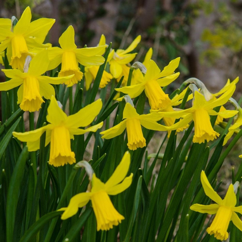 Narcissus Cyclamineus Buy Cyclamineus Daffodil Bulbs Narcissus February Gold: £3