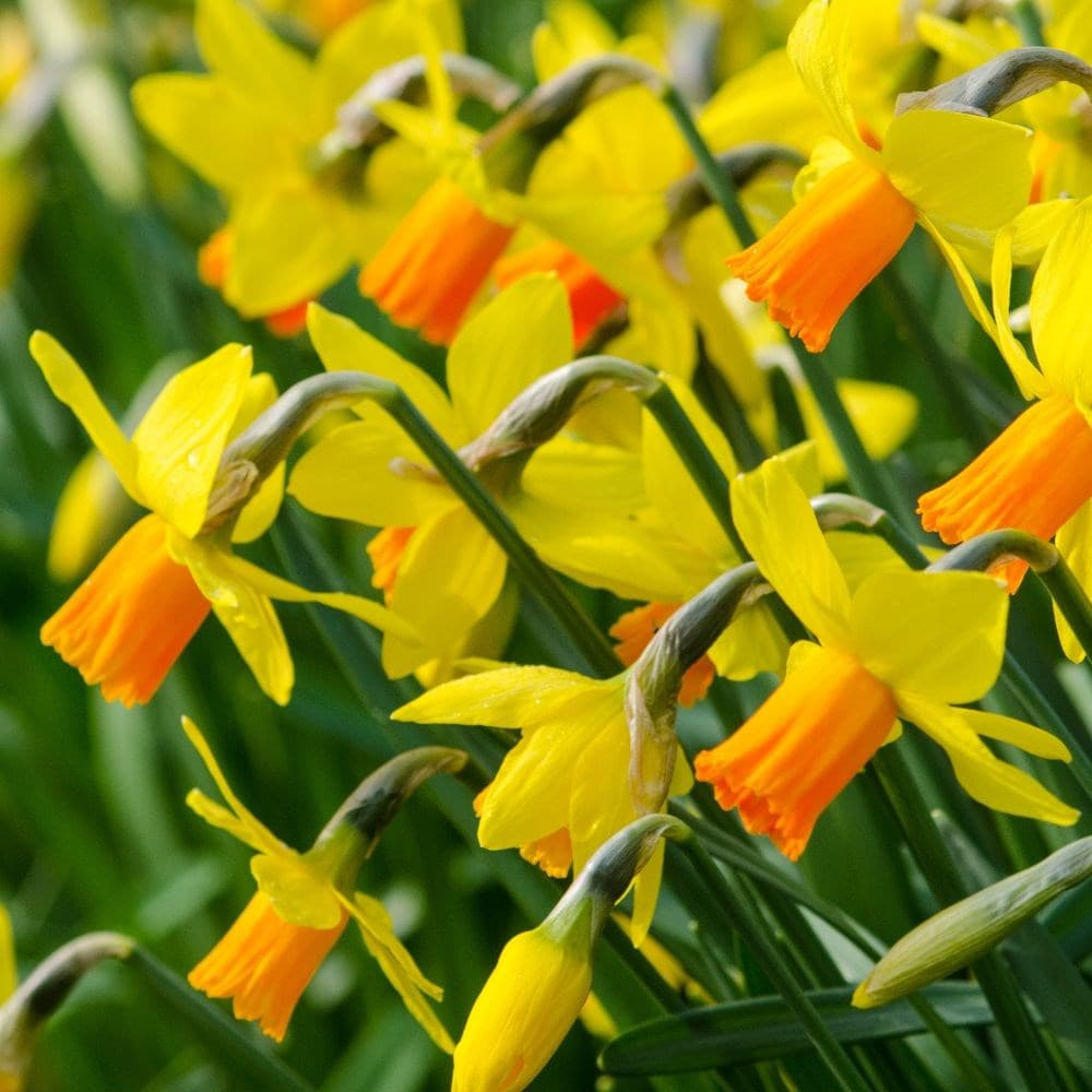 Narcissus Cyclamineus Buy Cyclamineus Daffodil Bulbs Narcissus Jetfire: £4.99