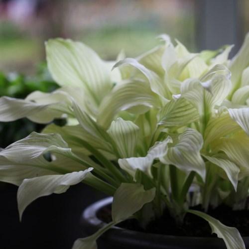 Medium Of White Feather Hosta