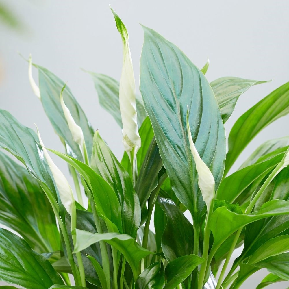 Spathiphyllum Wallisii Buy Peace Lily Spathiphyllum Wallisii Bellini Delivery By