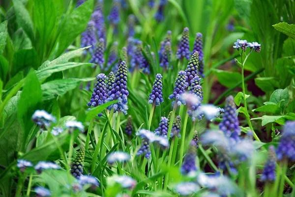 Buy Grape Hyacinth Bulbs Muscari Armeniacum 499