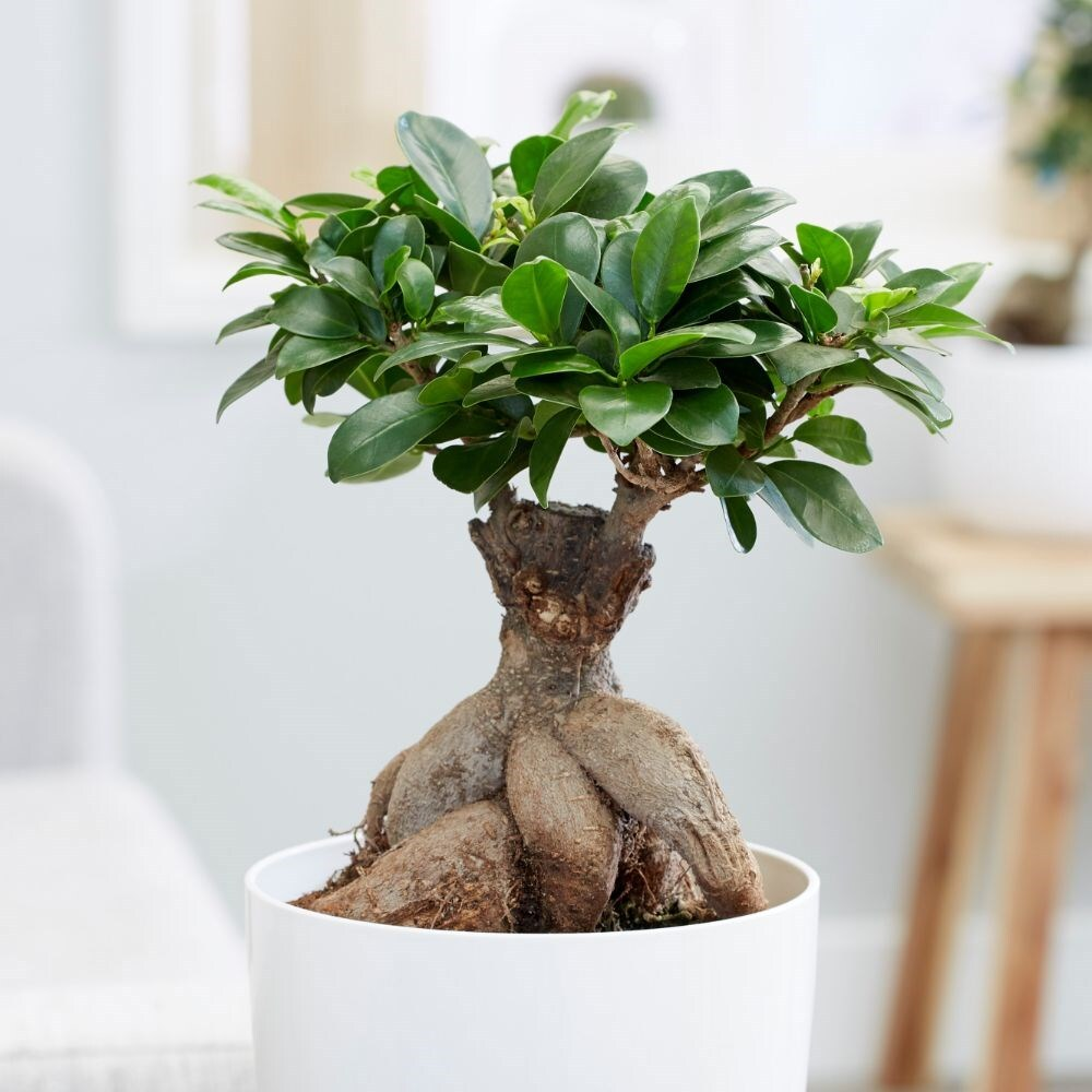 Ficus Ginseng Bonsai Buy Bonsai Ficus Ficus Microcarpa Ginseng Delivery By Waitrose