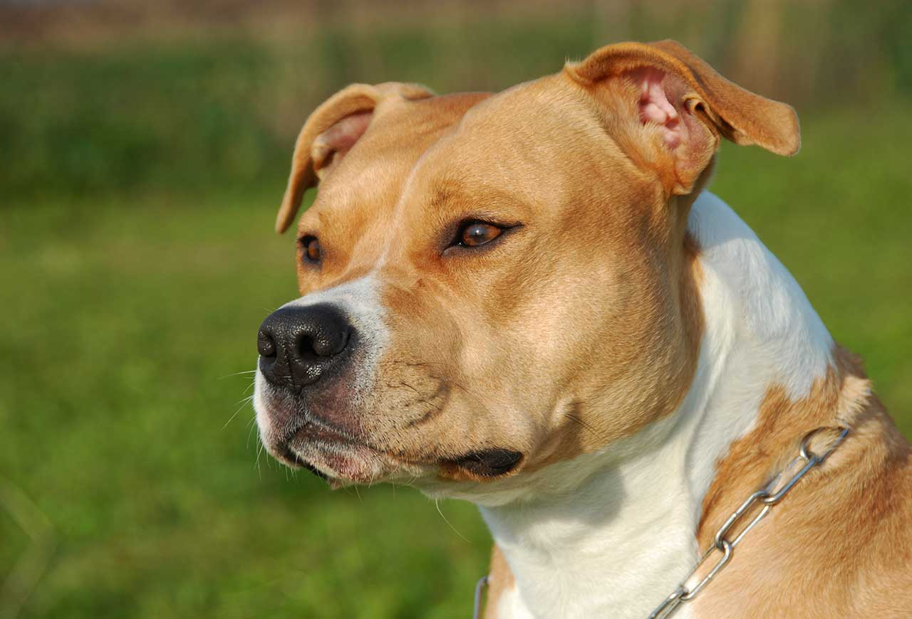 American Staffordshire Terrier American Staffordshire Terrier Dog Breed Everything