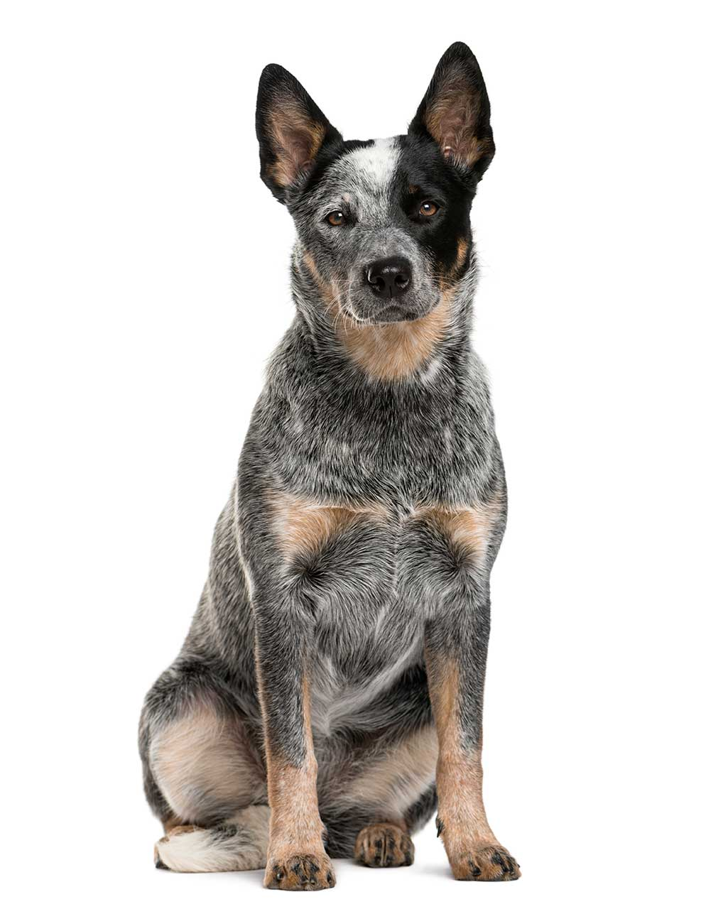 Australian Cattle Dog Australian Cattle Dog Breed Information Pictures And More
