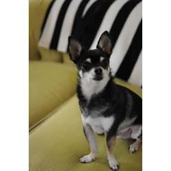 Small Crop Of Chihuahua Life Span
