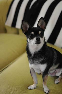 Small Of Chihuahua Life Span
