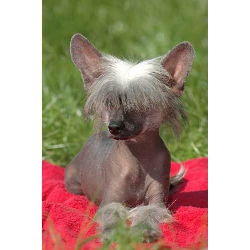 Medium Crop Of Hairless Dog Breeds