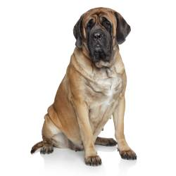 Small Of Heaviest Dog Breed