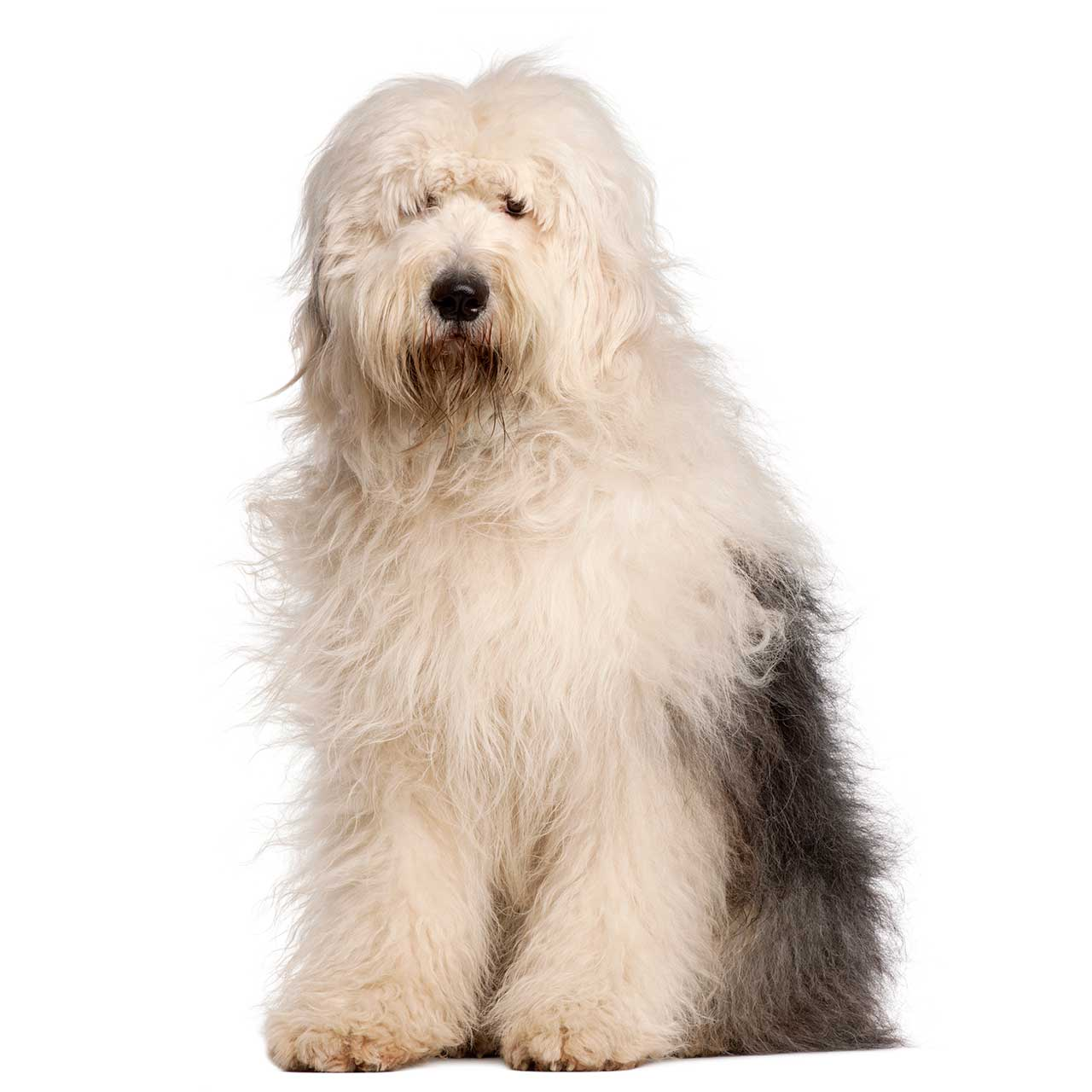 Are Old English Old English Sheepdog Dog Breed Everything On Old English Sheepdogs