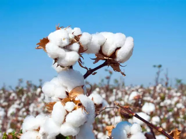 cotton India\u0027s 2018-19 forward cotton export contract up 100 YoY