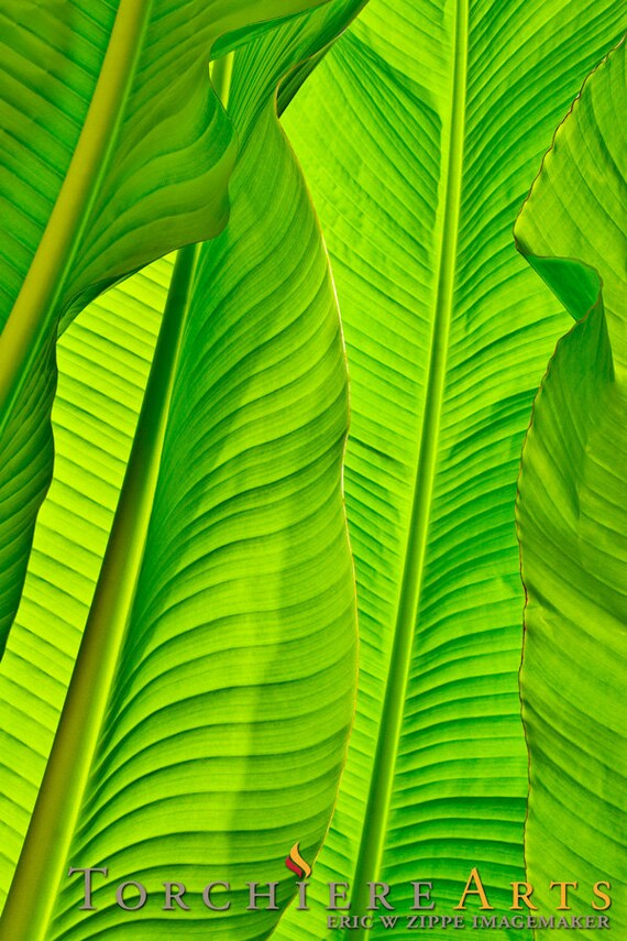 Create My Own 3d Name Wallpaper Banana Leaves Photography Tropical Photo Tropical Decor