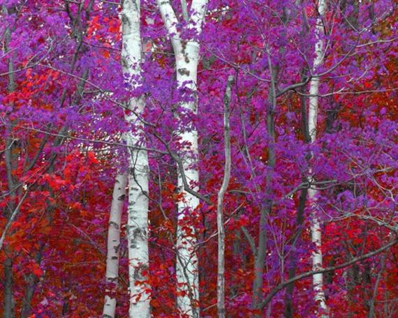 Fall Foliage Wallpaper For Computer Birch Tree Photo Michigan Fall Colors Red Purple Surreal