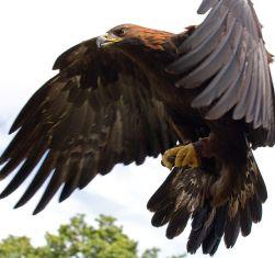 Águia-real em voo.