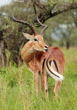 O Impala macho é facilmente reconhecido pelos seus chifres.