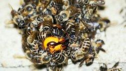 japanese-honey-bees-vs-japanese-hornets