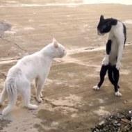 【萌え注意】猫同士の喧嘩で本気出して二足歩行になる猫w