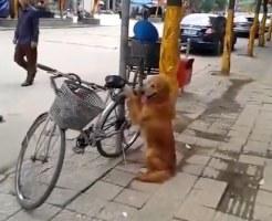 【萌え注意】天才犬現る!一人で見張り&自転車に乗る犬w