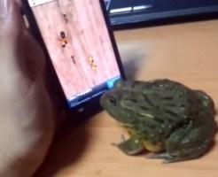 【萌え注意:カエル】カエルにスマホゲームをやらせたらパーフェクト叩き出したw