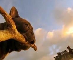 【萌え動画:犬】獲物を追いかけるブルドックが予想以上に萌えたwww