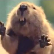 【おもしろ動画:動物】先日助けて頂いたビーバーです・・・木を倒して川の決壊から守ってくれた(・∀・)