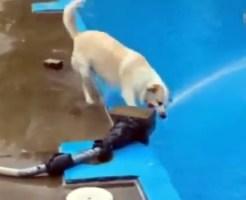 【萌え動画:犬】放水と戦う前にプールに落ちてしまう馬鹿犬w