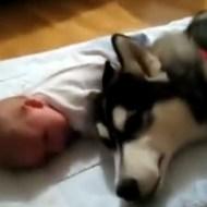 【萌え動画:犬】夜鳴きの赤ちゃんに子守唄を歌う犬www
