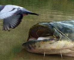 【衝撃映像:動物】巨大なまず凶暴過ぎw下りてきた鳩に襲い掛かる!!