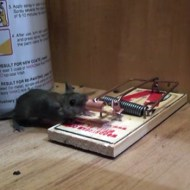 【閲覧注意】ネズミがネズミ捕りの罠にかかる瞬間の映像がけっこうグロい