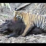 【動物】子虎VSイノシシが圧倒的過ぎてつらたんw