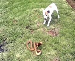 【動物VS】リッセルテリア(犬)VSコブラ(猛毒)
