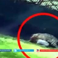 【閲覧注意】動物園で中学生が虎に生きたまま食べられてるんだが・・・